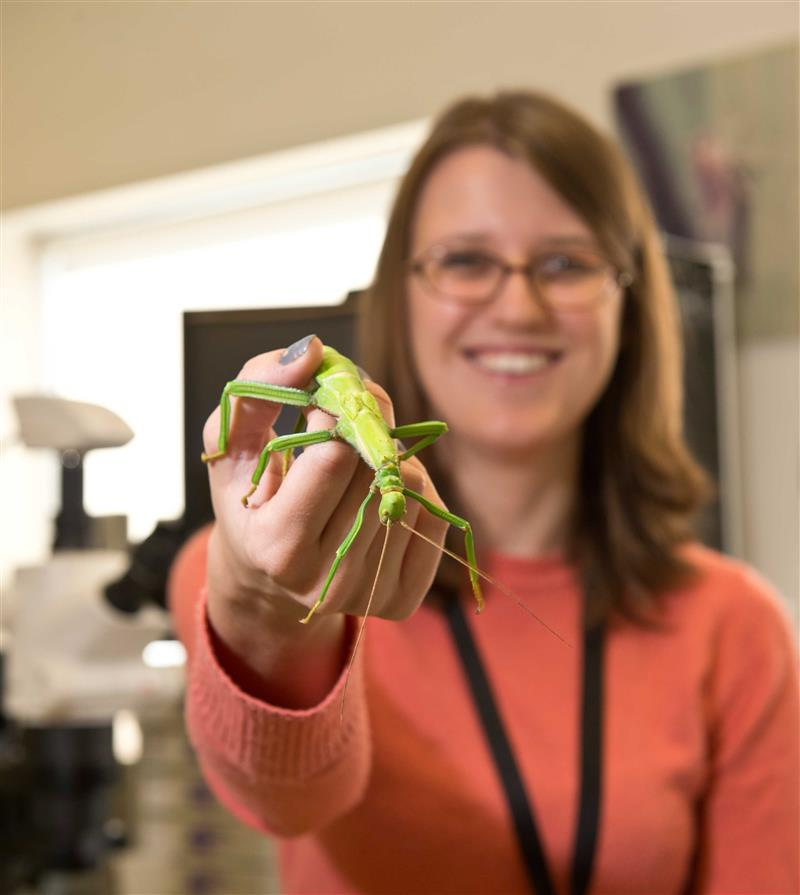 (NRP-116) Giant lime green stick insect