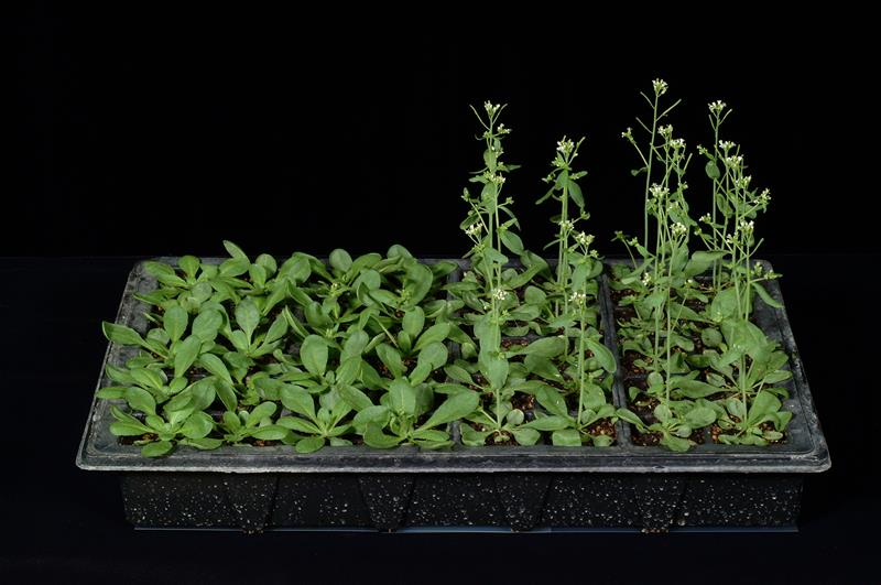 Vernalization in Arabidopsis