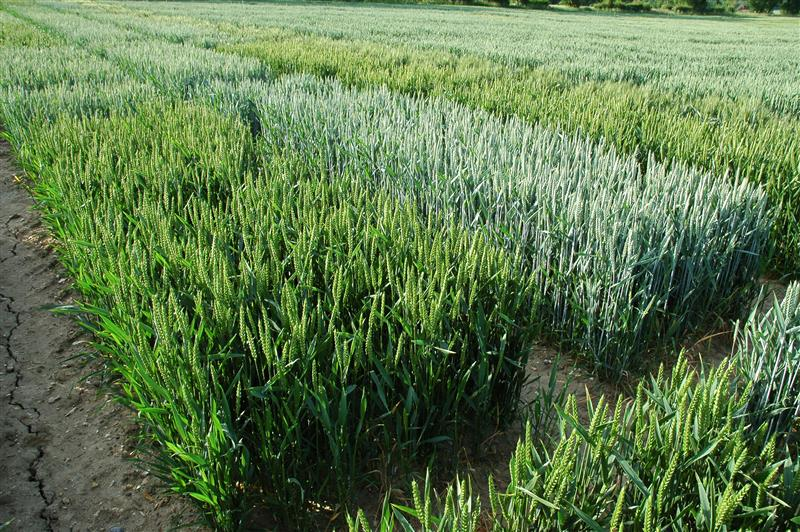 Hydrogen isotopes in wheat