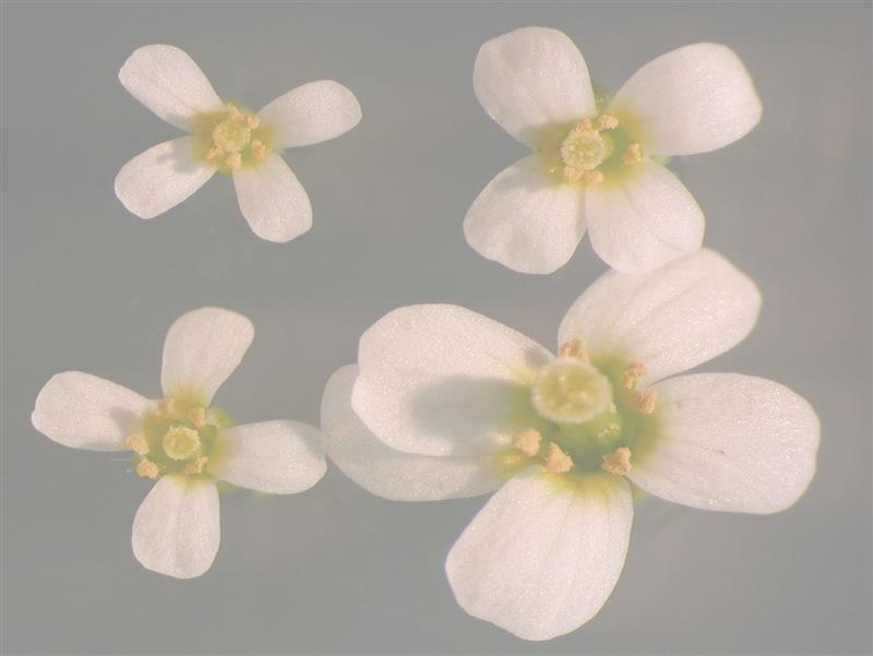 Arabidopsis flowers