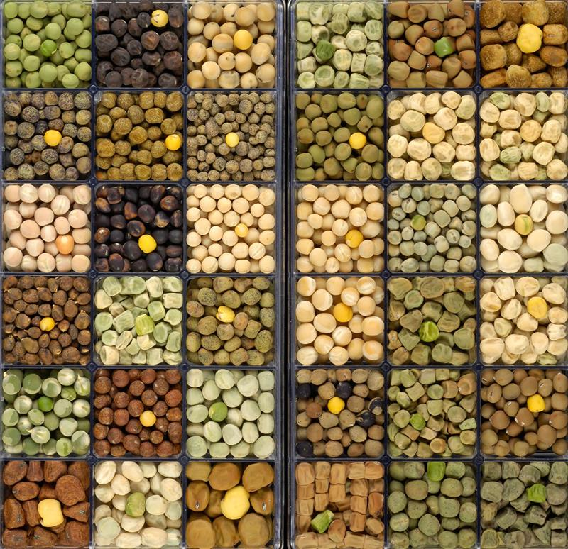 Diversity in Pisum seeds