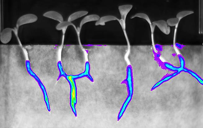 (NRP-152) Colonization of legume roots