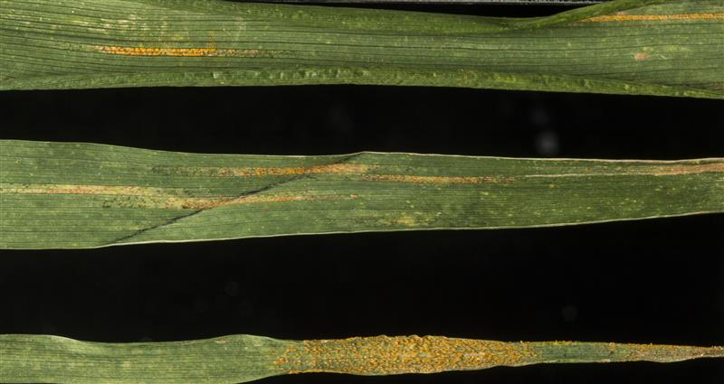 (NRP-165) Rusts on leaves
