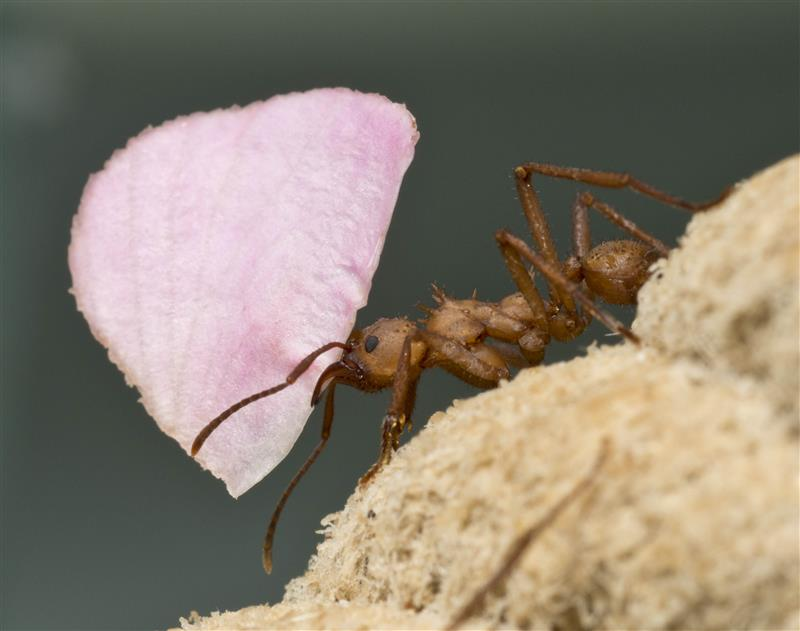 Leafcutter ant with rose petal