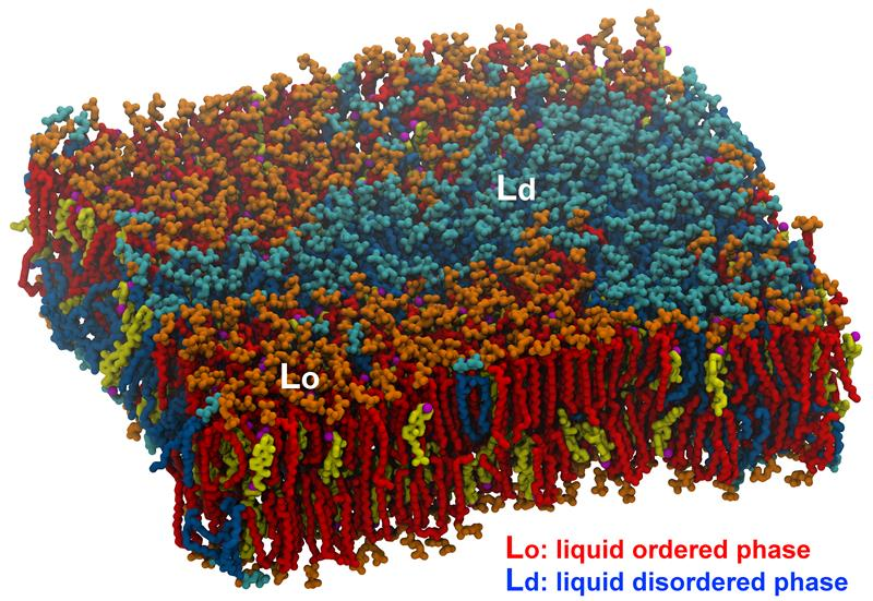 Computer modelling of lipid rafts in biological membranes