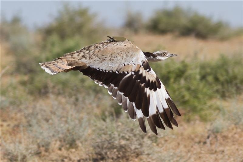 Tracking Bustards
