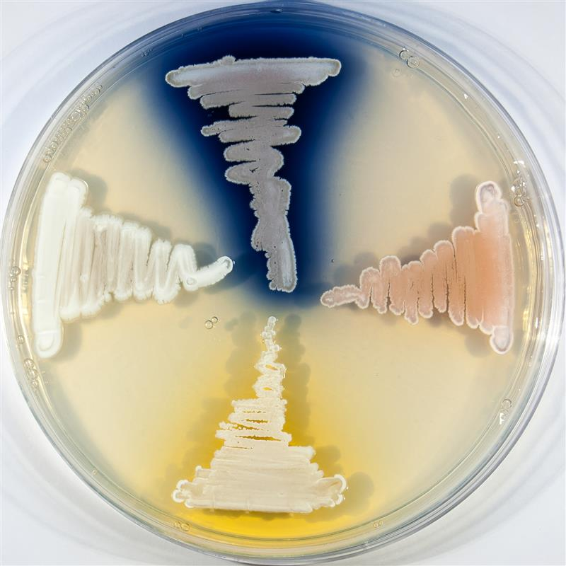 Streptomyces coelicor: one microbe, many antibiotics