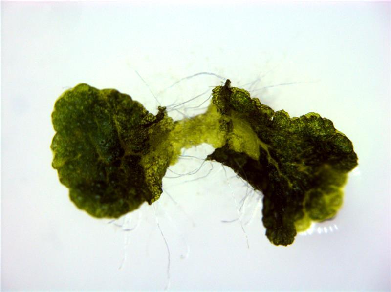 3 week old Marchantia paleacea