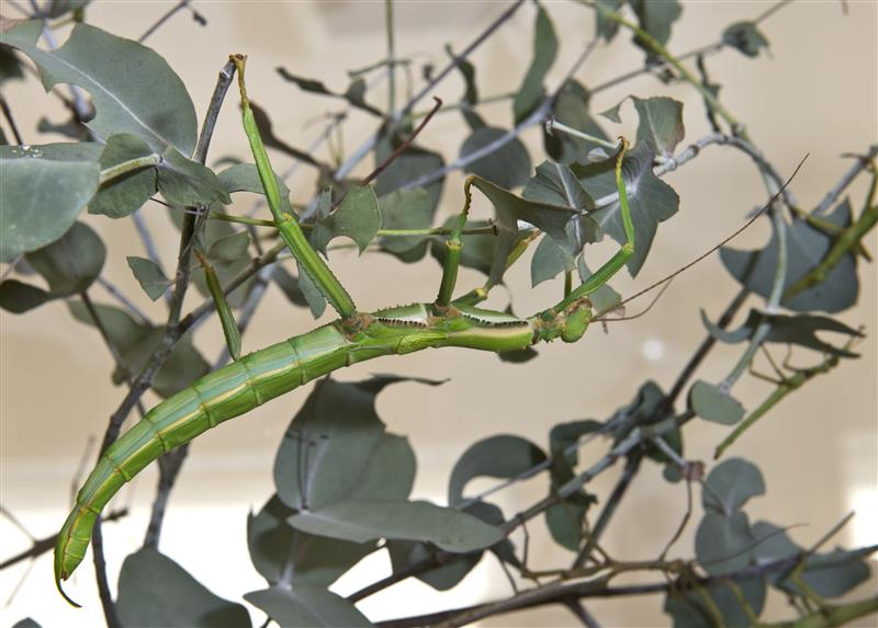 Giant lime green stick insect