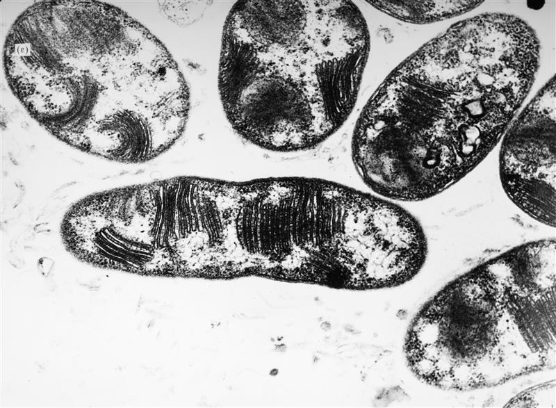 Methane oxidising bacteria